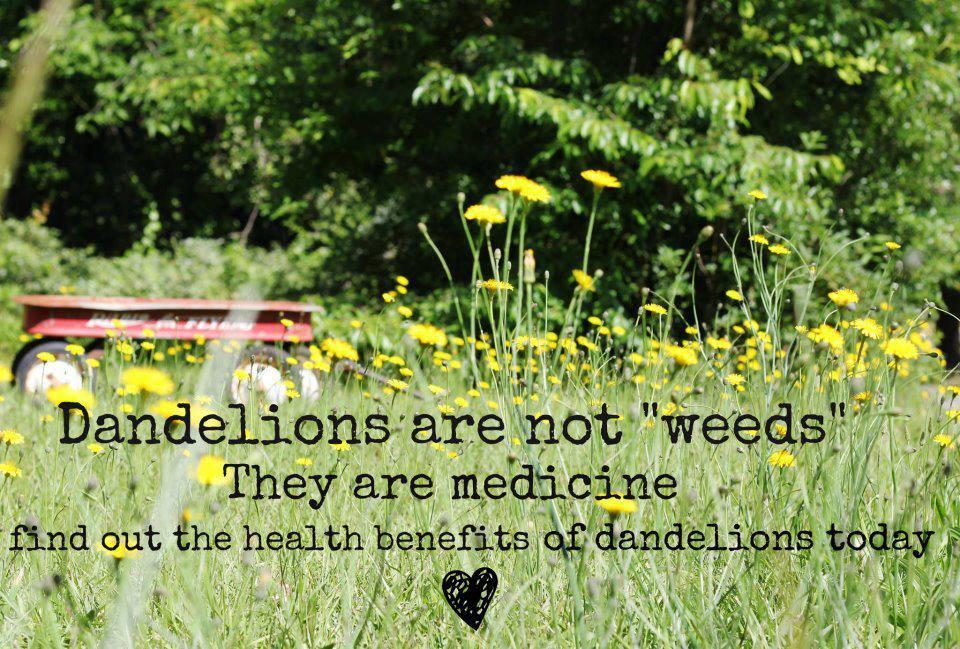 Dandelion Health Benefits Pacem